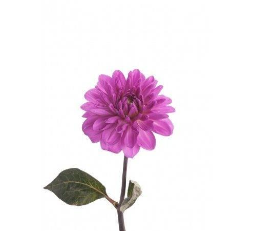 Purple Dahlia Flower Dahlias Types Flowers Muse