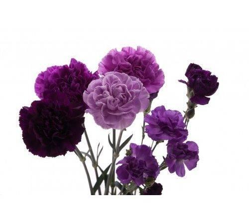 Purple Flowers Carnations Mix Set Types
