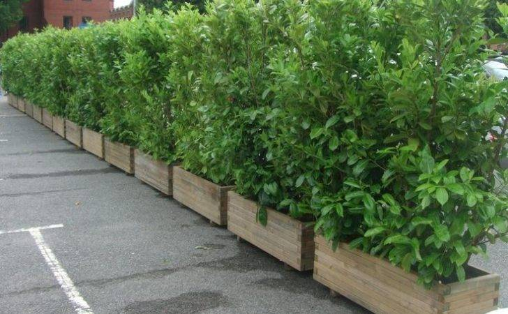Screening Plants Planters Contain Growth Out Back Pinterest