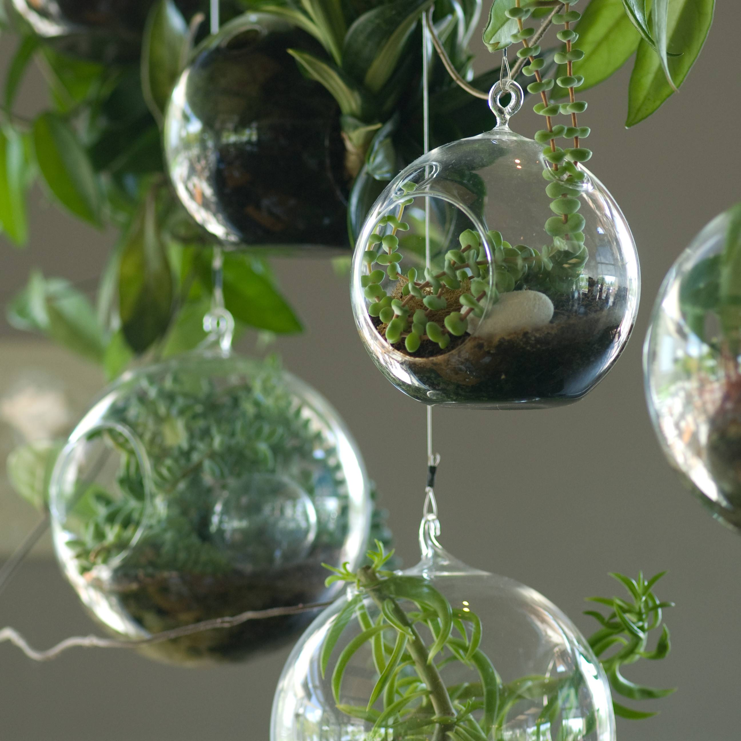 Several Hanging Globe Terrariums Plants