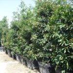 Shrub Tall Great Privacy Hedge Get