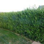 Shrubs Awesome Privacy Because They Dense Can