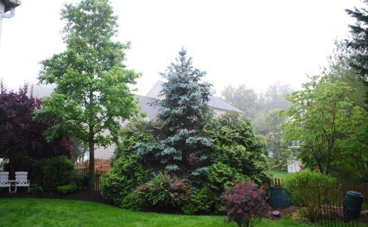 Spruce Arborvitae Smoke Pansy Red Bud Landscaping Arborvita