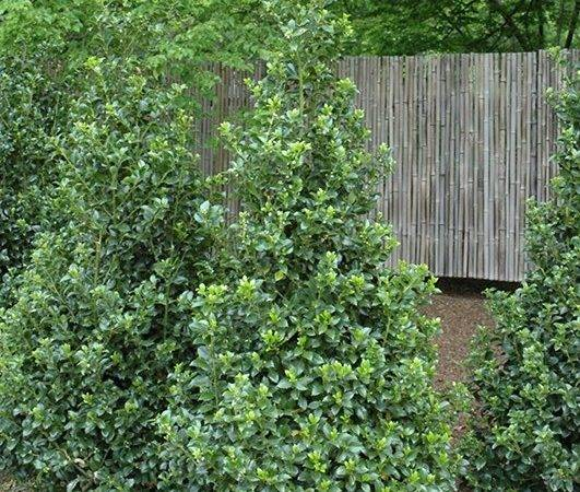 Stunning Evergreen Shrub Place Back Your Garden Bed