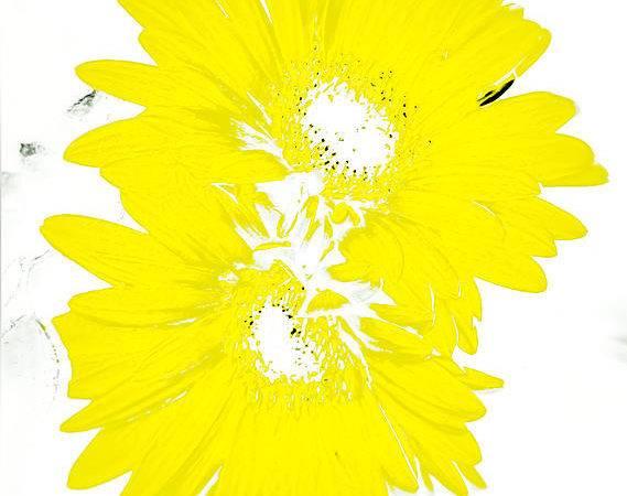 Sunshine Yellow Daisies Photograph Heather Joyce Morrill Which