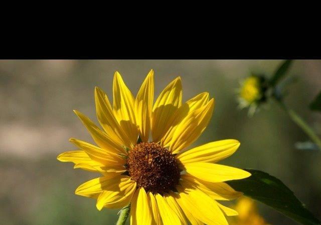 Sunshine Yellow Flowers Gardens Pinterest