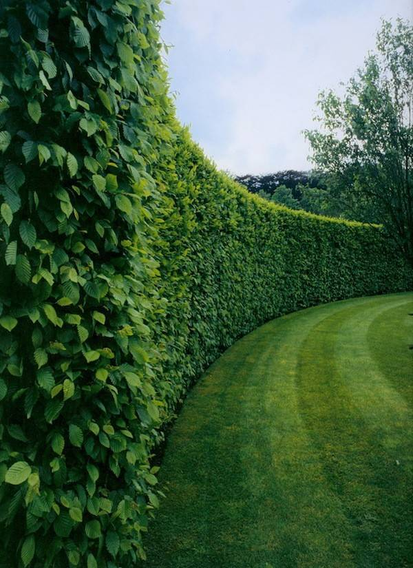 Tall Boxwood Hedge Garden Ideas Landscape Design