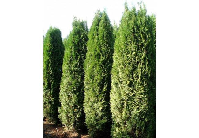 Tall Evergreen Trees Screening Dependable