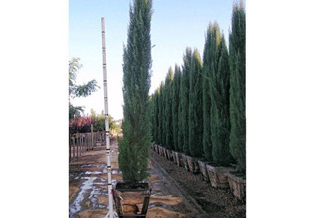 Tall Evergreen Trees Screening Forms