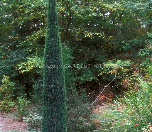 Tall Narrow Evergreen Shrubs