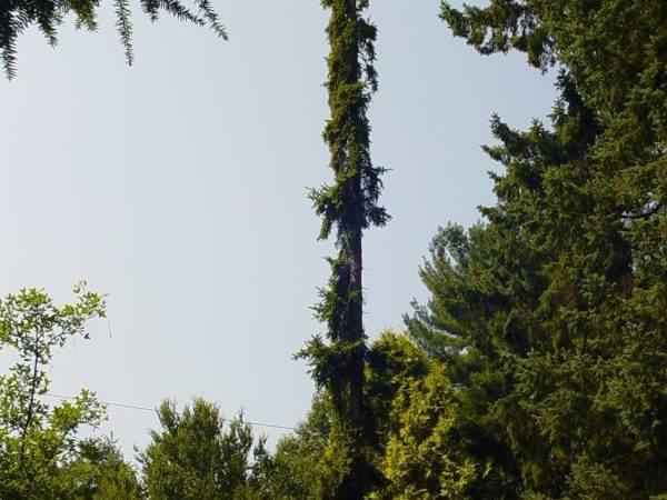 Tall Narrow Evergreen Trees Forums Gardenweb Load