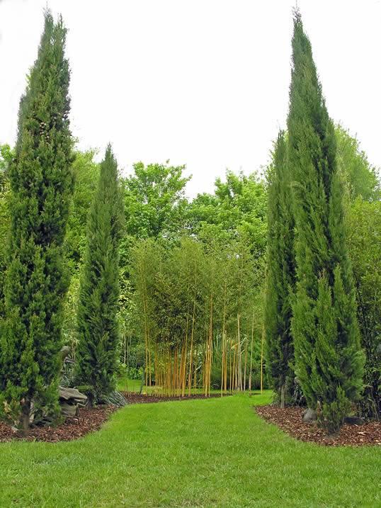 Tall Narrow Evergreen Trees