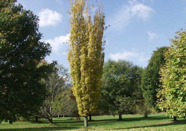 Tall Narrow Trees Privacy Thetreefarm Maple Norway