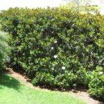 Tall Plants Privacy Ifas Extension Polk County Florida