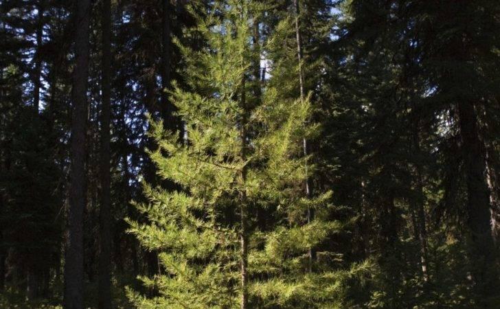 Tall Slender Evergreen Trees Ehow