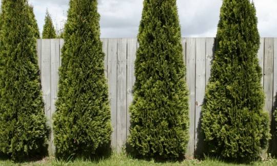 Tall Thin Evergreen Trees Quotes