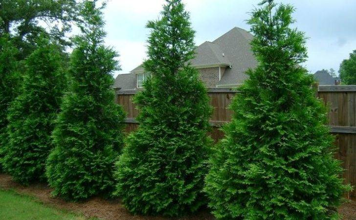 Thuja Green Giant Arborvitae Fastest Growing Privacy