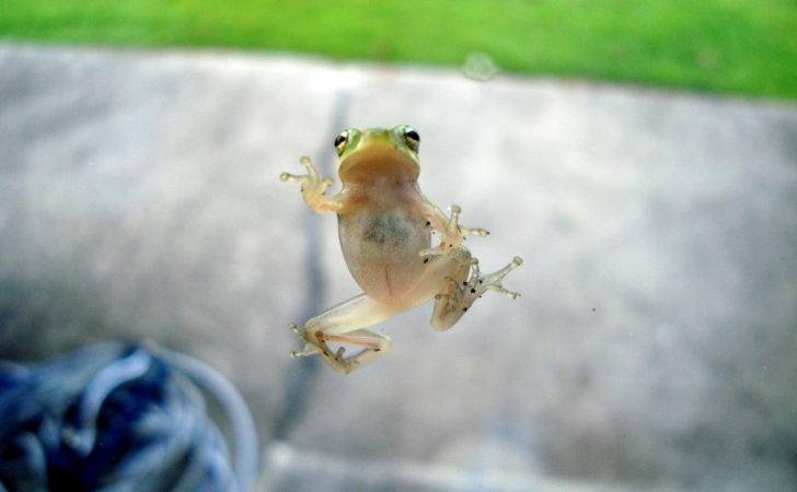 Tiny Green Frog Clinging Glass Window Tallahassee