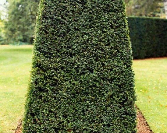Top Best Plants Hedges Plant Them Gardens Taxus