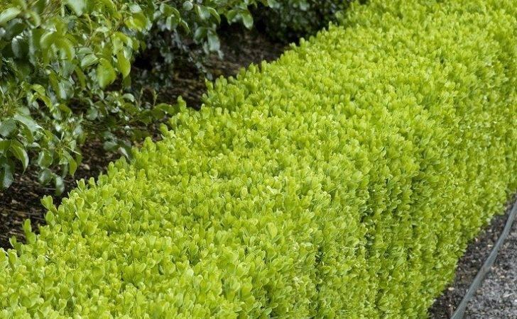 Top Best Plants Hedges Plant Them