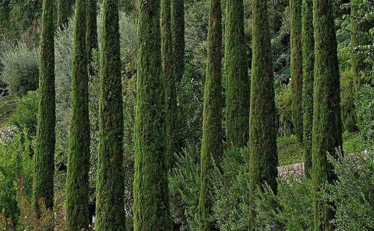 Tree Italian Cypress Trees Pinterest