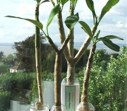Tree Plumeria Exotic Tropical Flowers Plants Hawaii