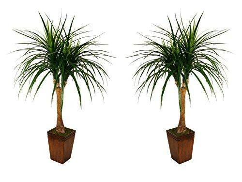 Tropical Indoor Outdoor Palms Offices Palm Trees Garden Plants