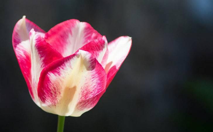 Tulip Black Photograph Photographic Arts Design Studio