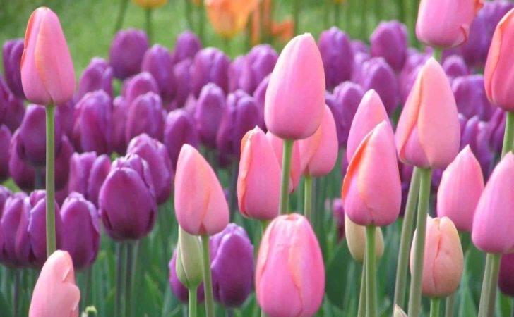 Tulip Pink Ungu Gambar Bunga Tentang Dan Koleksi