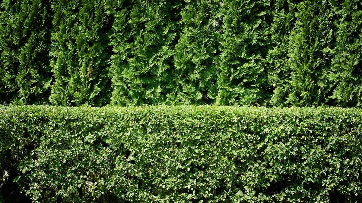 Types Arborvitae Trees Plant Privacy Hedge Arborday