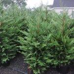 Types Landscape Trees Cedar