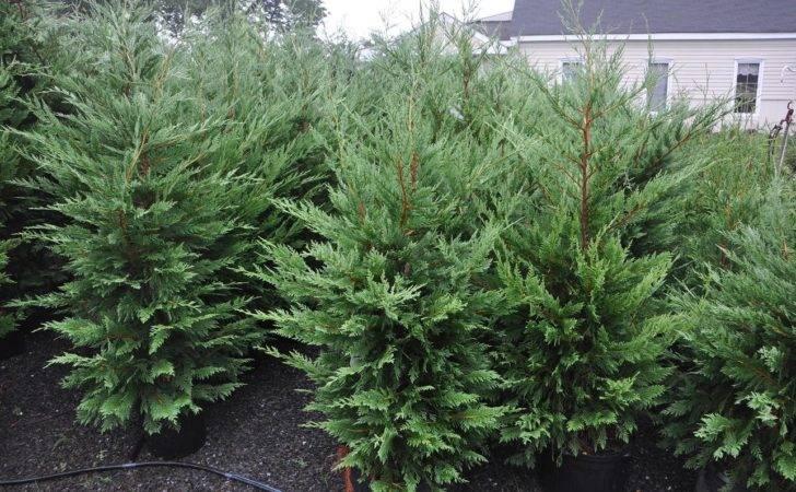 Types Landscape Trees Cedar