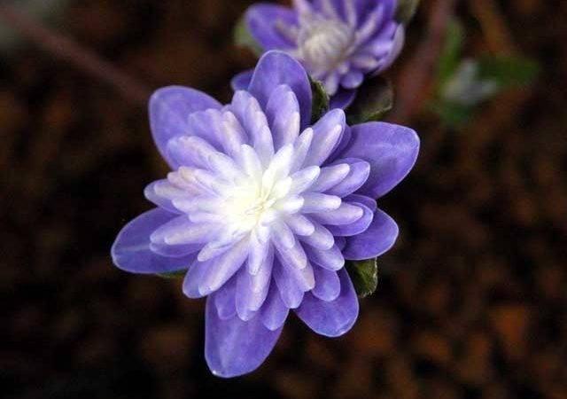 Types Purple Flower Double Flowers