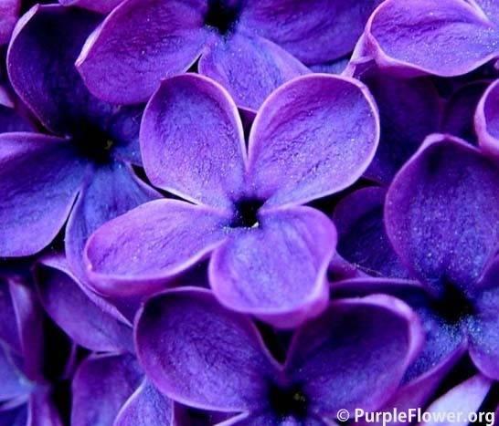 Types Purple Flower Lilies Purpleflower