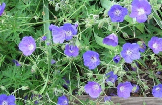 Types Purple Flower Pruple Flowers
