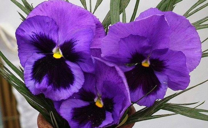 Types Purple Flowers Beautiful Pansy Different