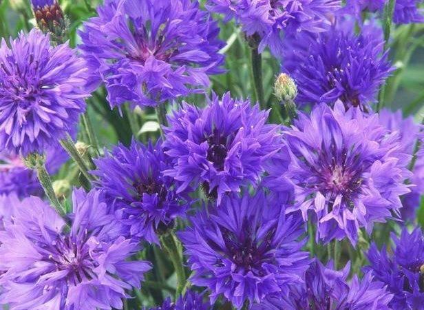 Types Purple Wildflowers Annual
