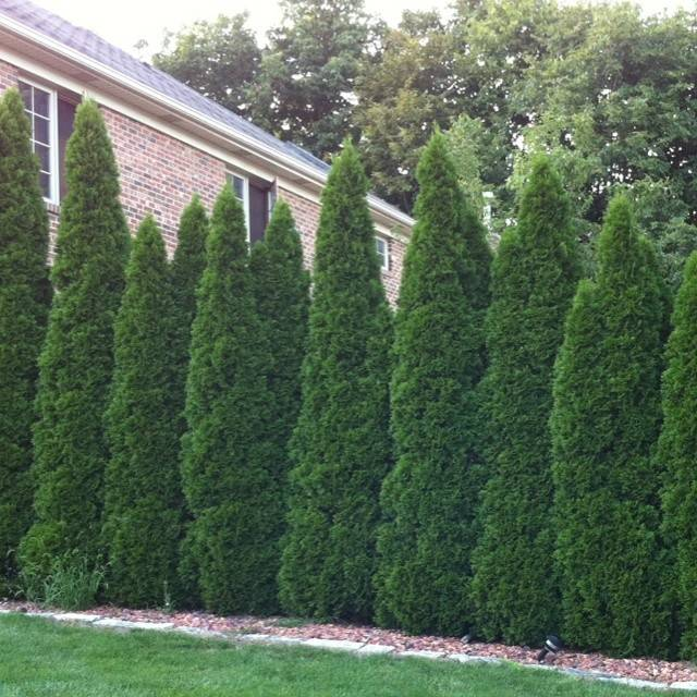Wall Tall Bushes Great Privacy Want