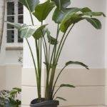While Not Palm Showy Plant Has Large Bright Green Leaves