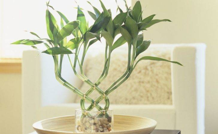 Why Feng Shui Lucky Bamboo Considered